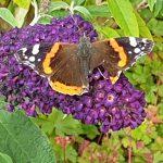 De vlinder met de kapotte vleugel